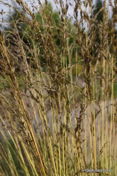Molinia caerulea 'Variegata' (3)
