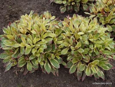 Oenothera tetragona 'Crown of Gold' (2)