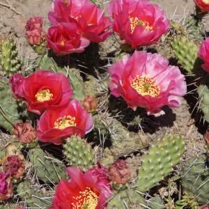 Kaktusai ir kiti sukulentai