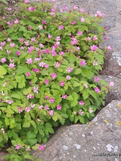 Rubus arcticus (2)