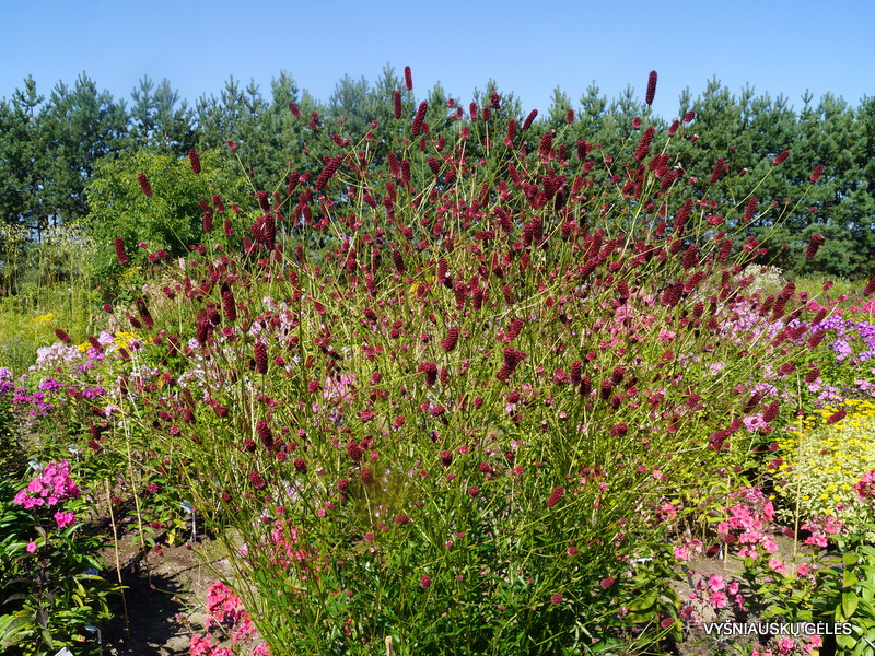 Sanguisorba officinalis 'Cangshan Cranberry' (3)