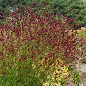 Sanguisorba officinalis 'Cangshan Cranberry'