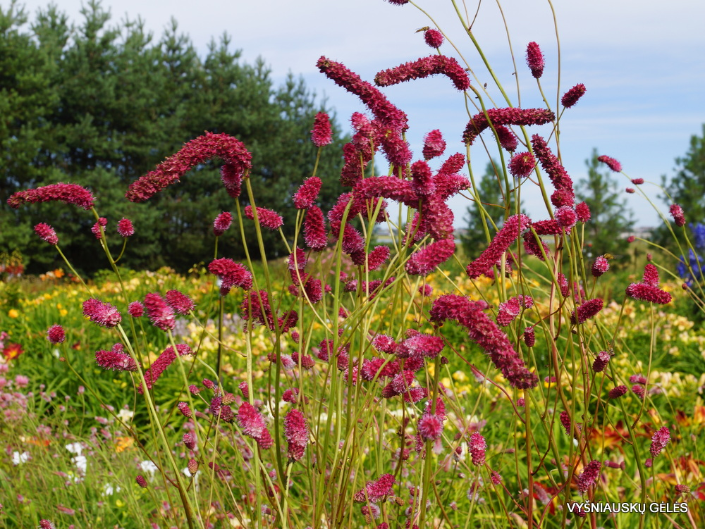 Sanguisorba tenuifolia 'Pink Elephant' (2)
