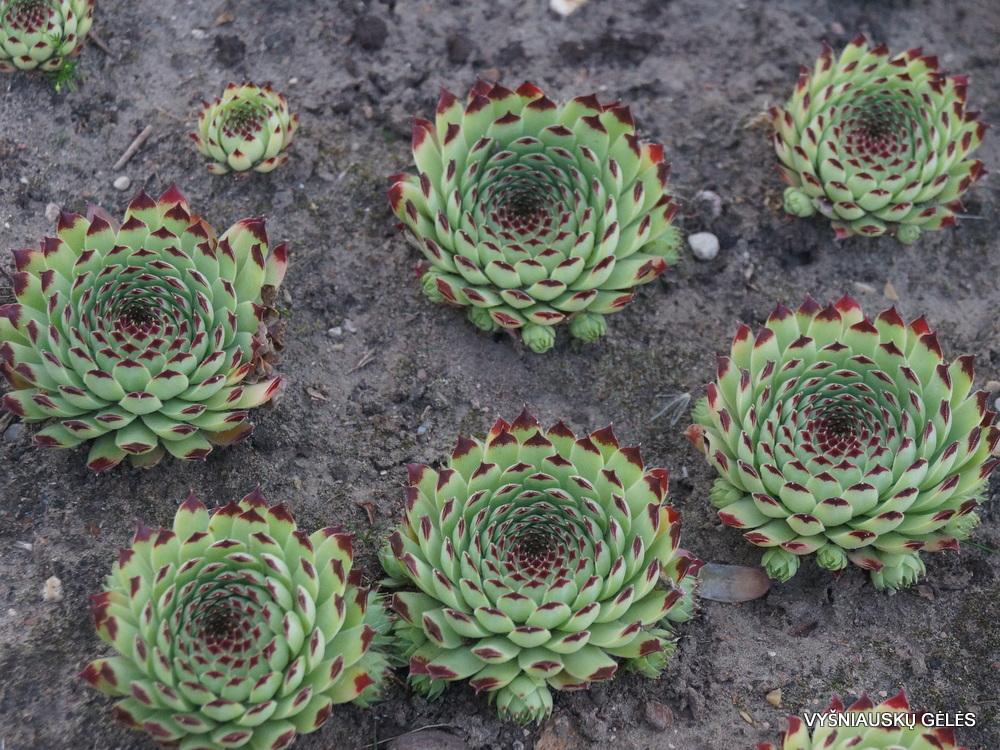Sempervivum calcareum 'Extra'
