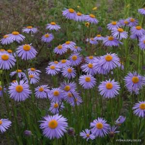 Uolinis astras 'Berggarten'