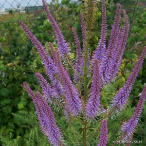 Veronicastrum virginicum 'Fascination' (2)