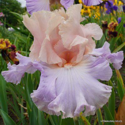 Vilkdalgiai Blush of Pink