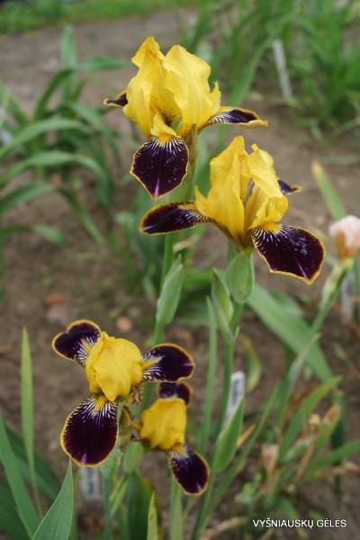 Vilkdalgis 'Bumblebee Deelite' (3)