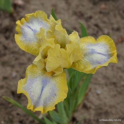 Vilkdalgis 'Easter' (4)