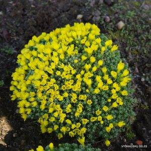 vitaliana-primuliflora-ssp-cinerea