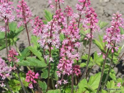 Heucherella 'Dayglow Pink'