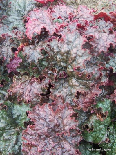 Heuchera 'Garbanė'