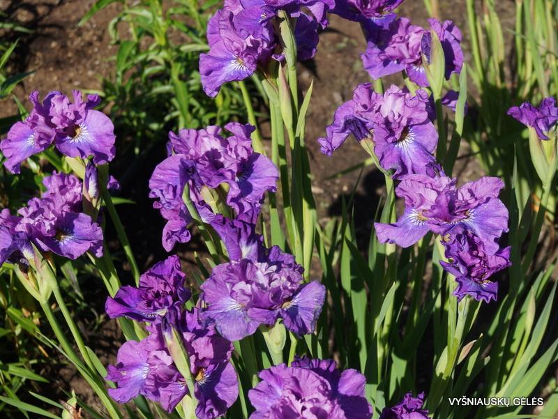iris-Rosy-Bowls-2
