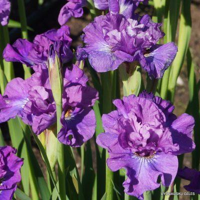 iris-Rosy-Bowls