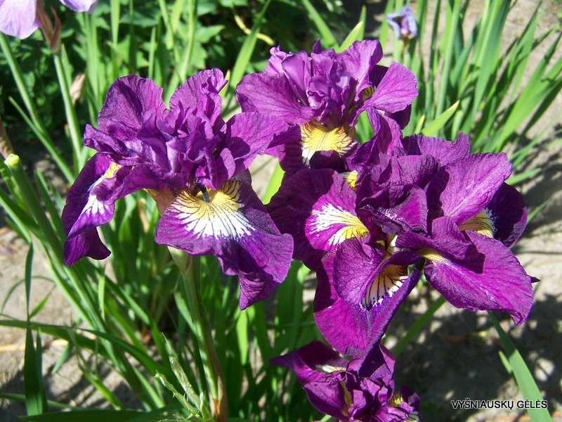 iris-sibirica-shebang-2