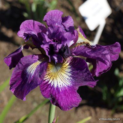 iris-sibirica-shebang-3