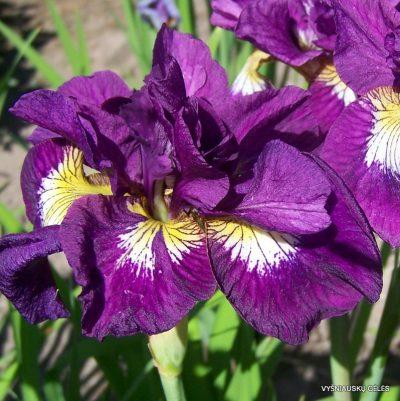iris-sibirica-shebang