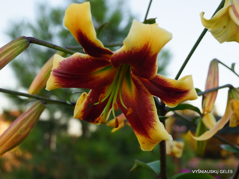 lily-robert-swanson-2