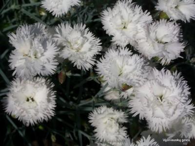 Dianthus 'Ohrid'