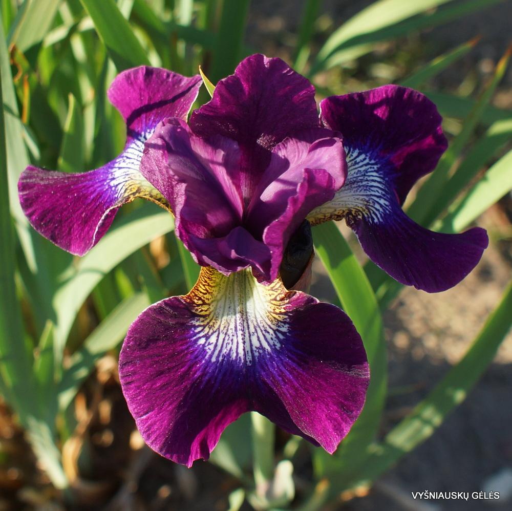 sibiriniai vilkdalgiai 'Berlin Purple Wine' (3)