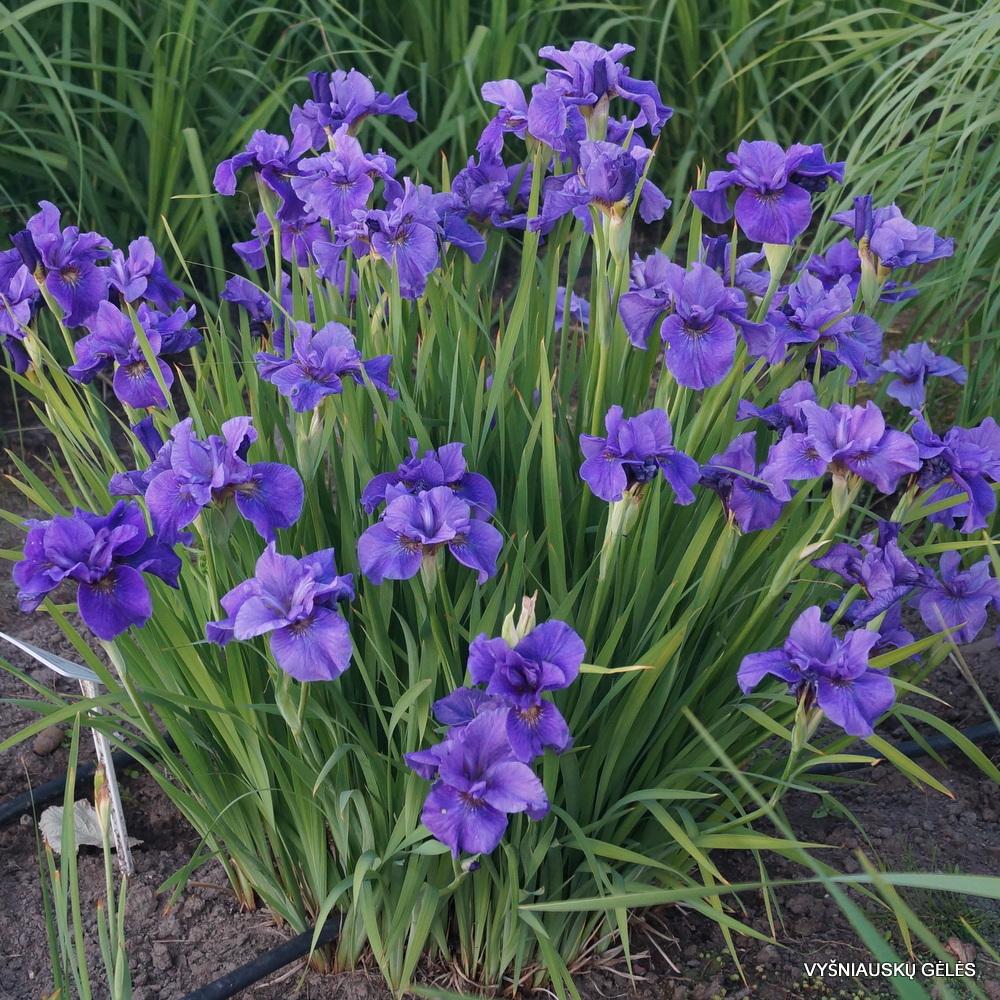 sibiriniai vilkdalgiai 'Purple Prose' (2)