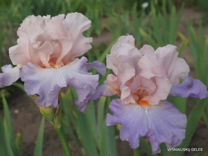 vilkdalgiai-blush-of-pink-3