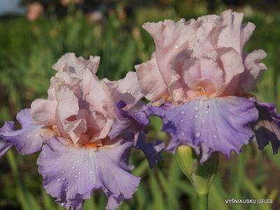 vilkdalgiai-blush-of-pink