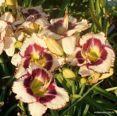 Daylily-Envious-Eyes-2