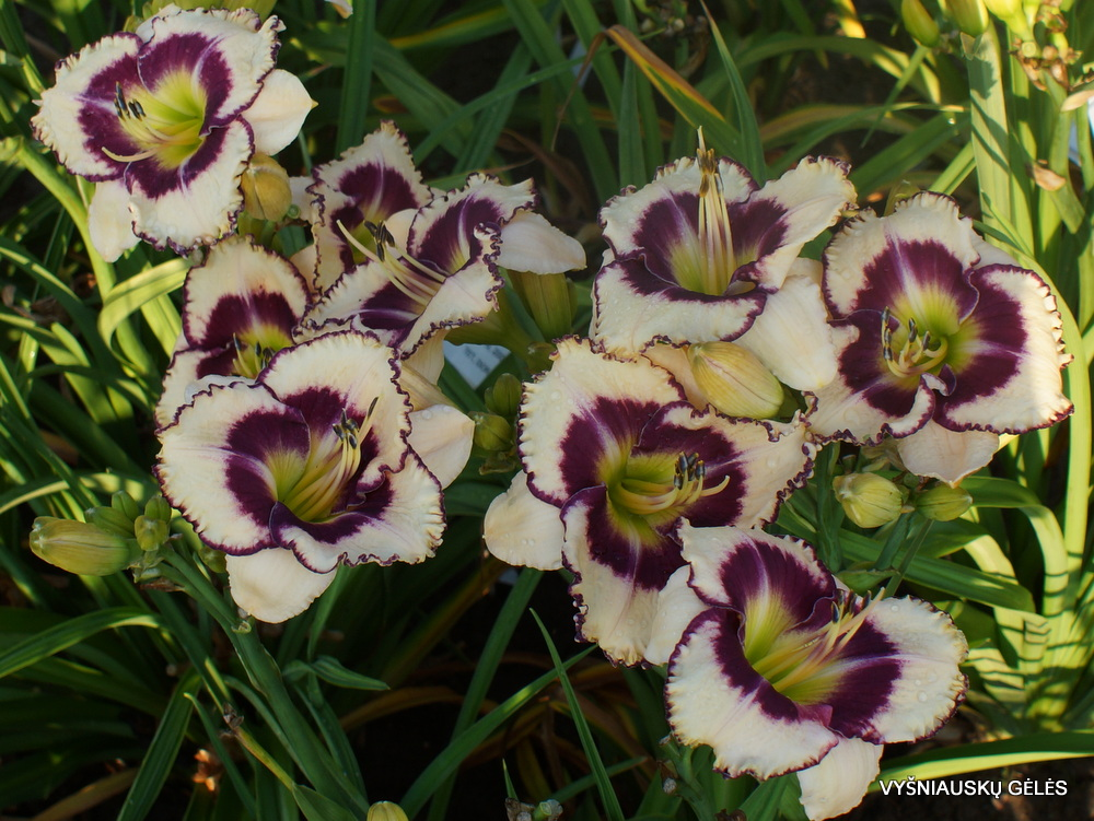 Daylily-Envious-Eyes-3
