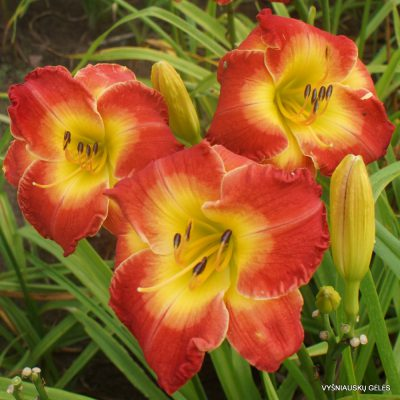 Daylily 'Forever Redeemed' (2)