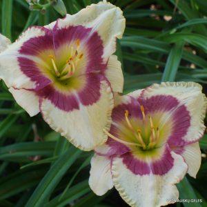 Daylily-Grand-Strand-Beauty