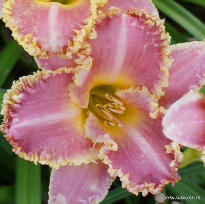 Daylily 'Heavenly Pink Fang'