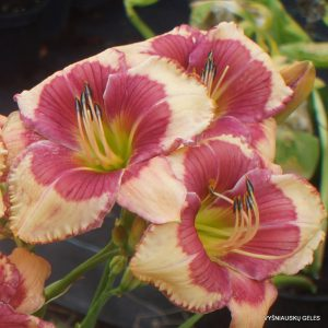 Daylily 'Hello Screamer' (4)