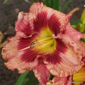 Daylily-In-Her-Shoes
