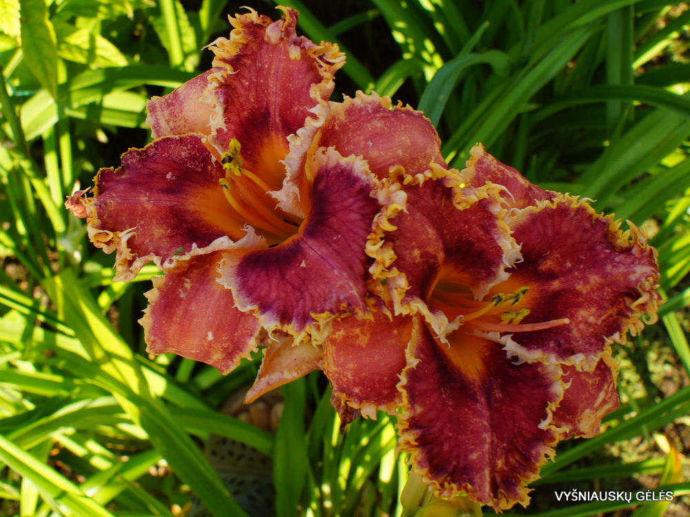 Daylily 'Interwiew with a Vampire' (3)