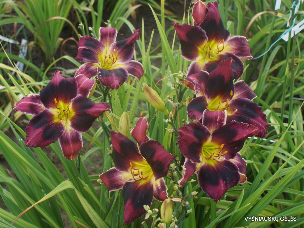 Daylily 'Mount Herman Intrigue' (2)