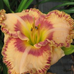 Daylily-Nature's-Poetry