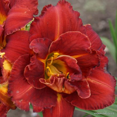 Daylily 'Shelton Holliday'