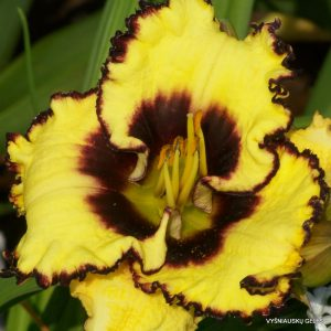 Daylily 'Spellbound Secret'