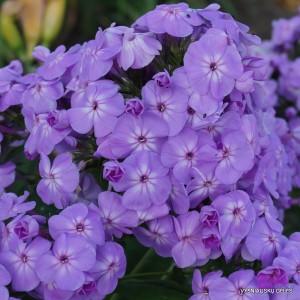Flioksai 'David's Lavender'