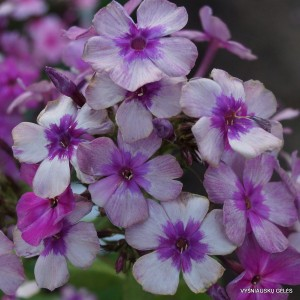 Flioksai 'Florans' (4)