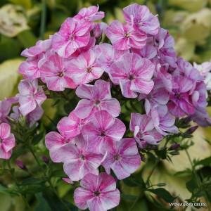 Flioksai 'Freckles Pink Shades'