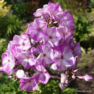 Flioksai 'Freckles Purple Shades'