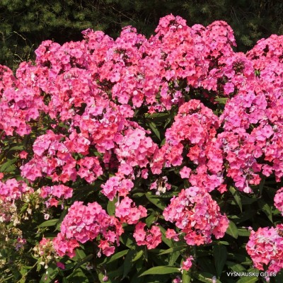 Flioksai 'Sweet Summer Dream'