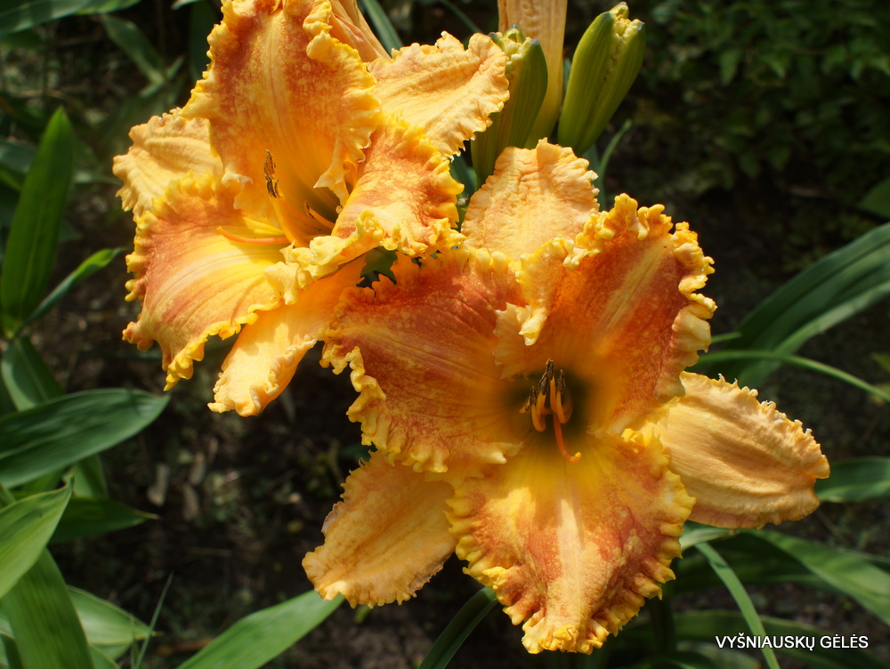 Hemerocallis 'Bass Gibson' (2)