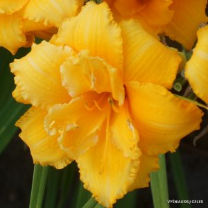 Hemerocallis 'Condilla' (5)