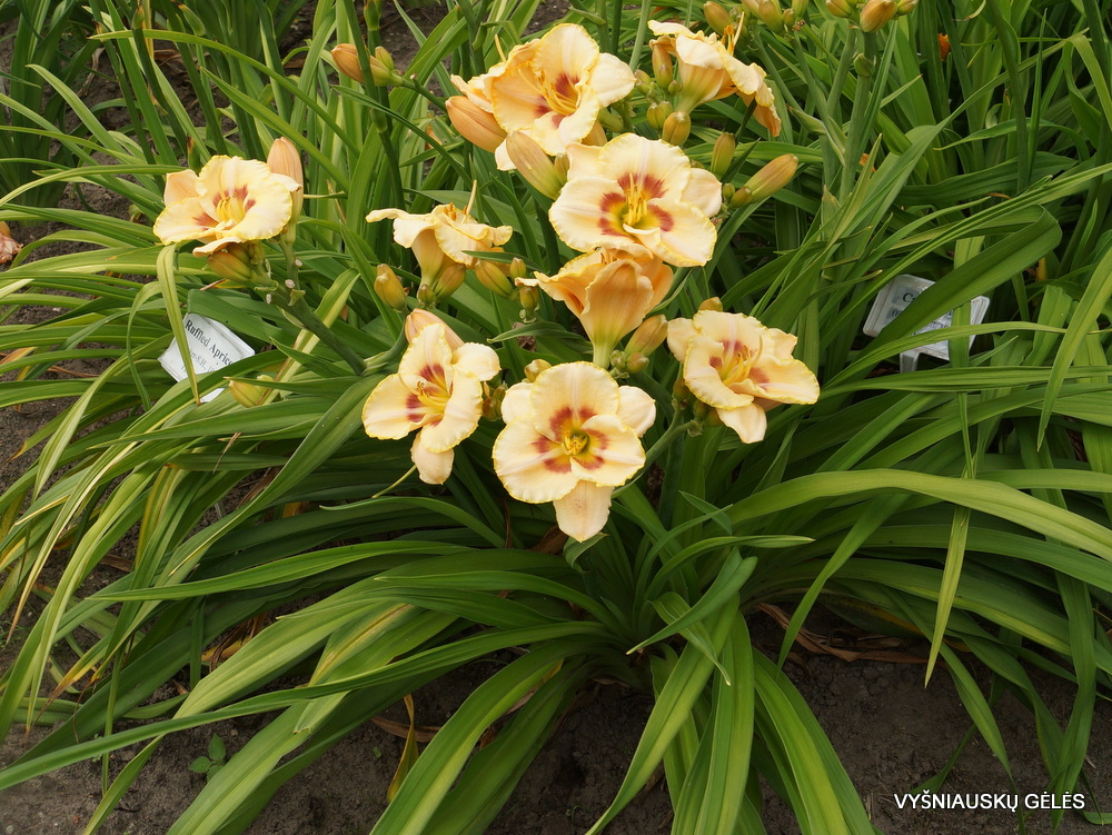 Hemerocallis-Custard-Candy
