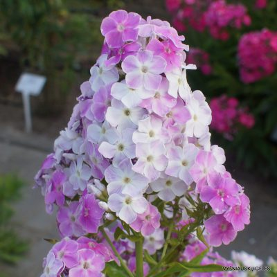 Phlox 'Cool Water' (3)