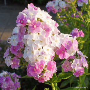 Phlox 'Cool Water'