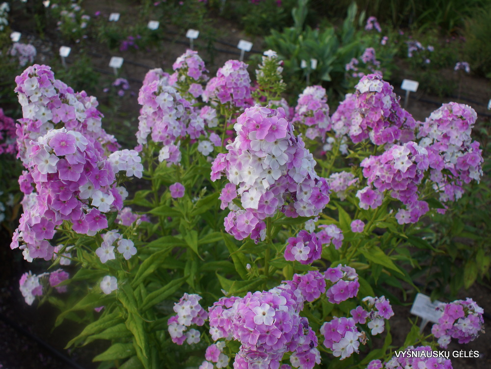 Phlox 'Cool Water' (5)